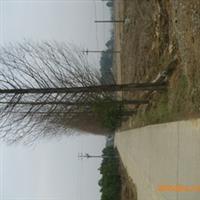 供应湖南优质苗木    精品水杉