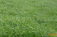 供应黑麦、百慕大、马尼拉等各种草坪草种