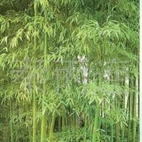 绿化苗木罗汉竹,紫竹,刚竹,观音竹,铺地竹