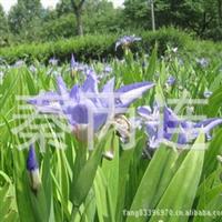 供应 鸢尾花 、蝴蝶花 宿根花卉 绿化苗木