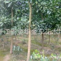供应4到6公分的香泡树 果树苗木 绿化苗木
