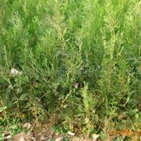 常年批发出售优质绿化苗木