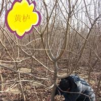 供应优质黄栌 黄栌小苗 红叶黄栌 3-15公分黄栌树 规格齐全