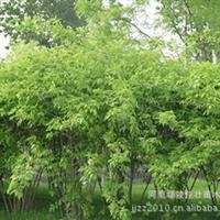 供应优质金银木 金银木树苗 金银木价格 先看苗 再定货
