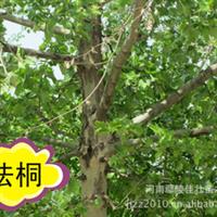 鄢陵佳壮苗木供应速生法桐苗 全冠法桐 半冠法桐 2-15公分法桐树