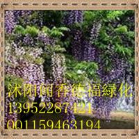 供应紫藤   牡丹种子   柿树等