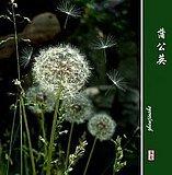 【蒲公英种子】当年新采种子  花卉种子