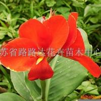 供应美人蕉 金边麦冬、玉簪、鸢尾 花卉苗木