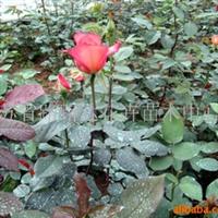 供应月季穴盘苗 大花月季 红帽月季 盆景 花卉苗木