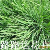 供应 台湾草 天鹅绒 细叶结缕草 草坪 草种