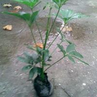 大量批发工程绿化苗木:【鹅掌柴】鸭脚木40公分高(杯装)3万棵