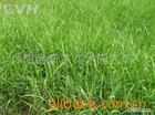 供应芦苇,各种水生植物
