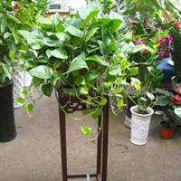 盆栽/花卉吊兰/植物大吊萝