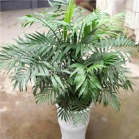 庭院植物/花卉/盆栽 袖珍椰子