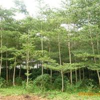 大量供应海南绿化树苗木;小叶榄仁、中东银海枣、黄花梨、九里香