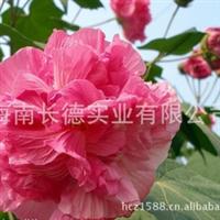 海南木芙蓉(芙蓉花)——系列产品