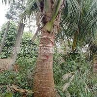 大量销售椰子树苗 各种规格的椰子树苗(图)