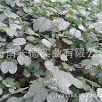 供应红花紫荆 优良品种红花紫荆 大量批发(图)