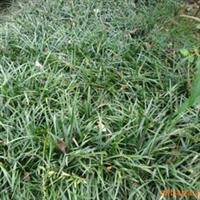 苗木基地批发 麦冬 麦冬草宿根花卉