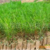 供应袋装湿地松苗 松木苗 绿化植物苗 苗木种植 是较好造森之一