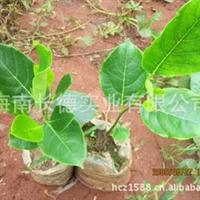 海南热带果树苗木--菠萝蜜苗、马来西亚一号苗