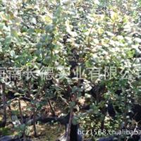 批发出售紫檀树苗 印度小叶紫檀树苗 (图)