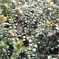 批发小叶紫檀苗 珍贵林业种植首选植物(图)