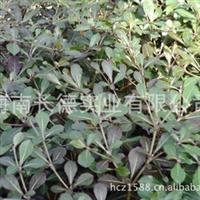 供应小叶榄仁 庭荫树 工程绿化苗木(图)