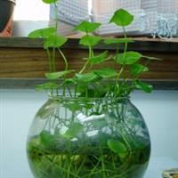 花卉绿植盆栽迷你可爱桌上宠物好养水生水培植物铜钱草金钱草