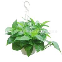 夜间释放氧气的植物 绿萝吊兰 清除室内甲醛