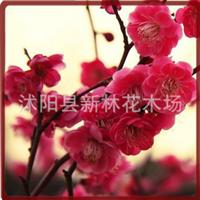 绿化盆栽花卉〔红梅花〕今年冬天开花 家有红梅鸿运到来