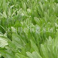 进口牧草种子 菊苣种子 叶片柔嫩多汁,营养丰富 也可作蔬菜食用