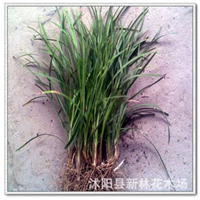 供应批发麦冬草,小叶麦冬 可成坪 地被 色带 绿化苗木