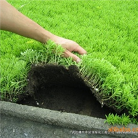 出售楼顶绿化专用草坪 佛甲草 隔热 耐寒 易活