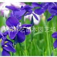 供应花卉苗木-鸢尾苗-别名(蓝蝴蝶)蝴蝶兰小苗