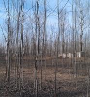 【批发供应】各种规格树形 优美 毛白杨