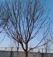 【大量供应】优质绿化苗木乔木/国槐/ 带土球或裸根定杆