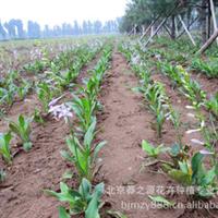 大量供应 地被植物 地栽苗 白花玉簪 玉簪 玉簪花