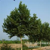 【热销】供应5-6公分白蜡 园林造景 首选 白蜡 大树