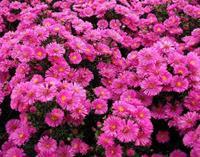 【大量供应】供应菊花 荷兰菊 荷兰菊种子种苗 柳叶菊