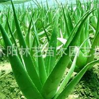 美国库拉索芦荟盆栽植物鲜叶美容  祛痘祛斑烫伤晒伤 3年苗只卖15