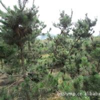 本苗圃供应黑松(胸径6-10公分)