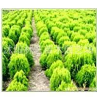 【专业认证】红叶小波 红叶小檗种子,焉尾种子,洒金柏种子等