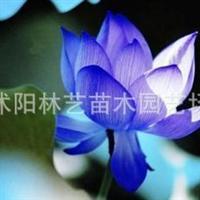 供应水生花卉植物种子-碗莲种子