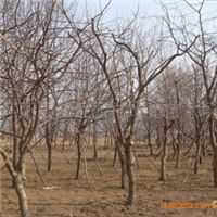 低价销售绿化苗木  供应皂角