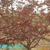 供应紫叶桃 红叶李 毛桃等绿化苗木 早熟禾、剪股颖、四季青