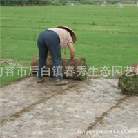 重庆草坪 草皮