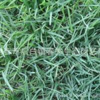 江西草坪 草皮