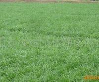 供应一年生黑麦草种子 高羊茅草坪护坡型 草坪种子