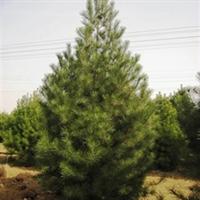 长年出售,西安市蓝田县辋川乡,5米优质白皮松